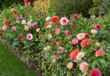 Рослини осінніх квітників: назви й фото, легенди та повір\'я